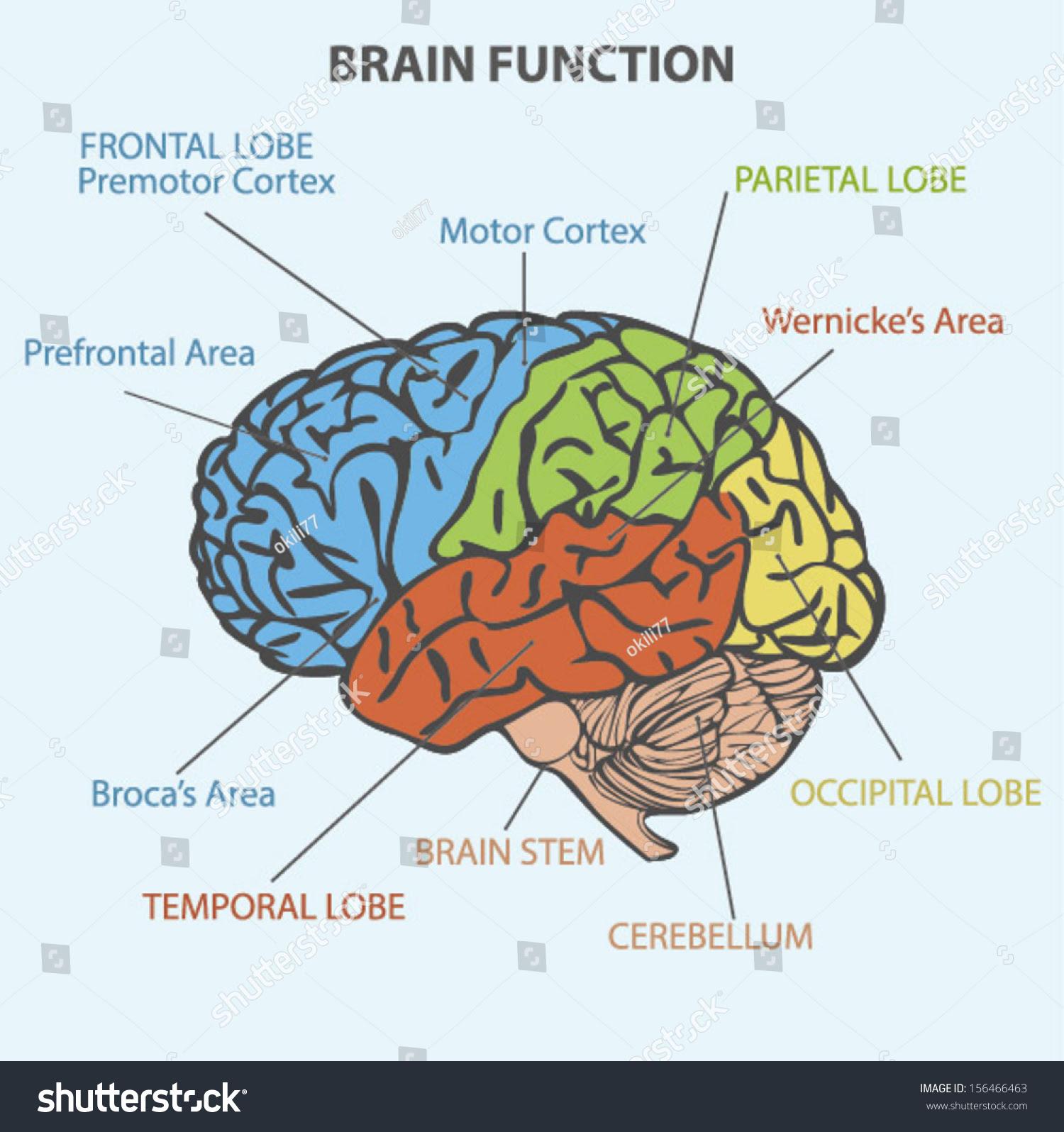 Brain Function Diagram Stock Vector 156466463 - Shutterstock