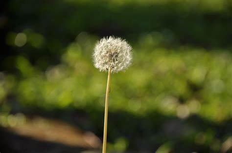 white dandelion flower  close  photograph  stock