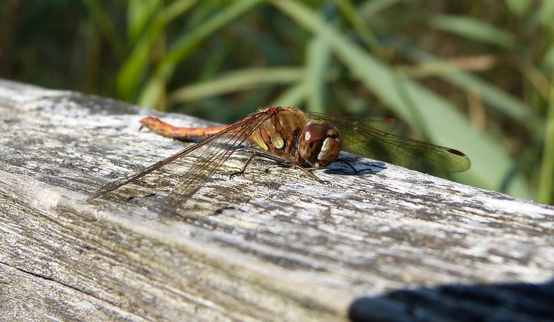 Common Darter, Kenfig NNR