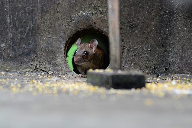 Excréments de souris: comment les identifier et les nettoyer de votre maison
