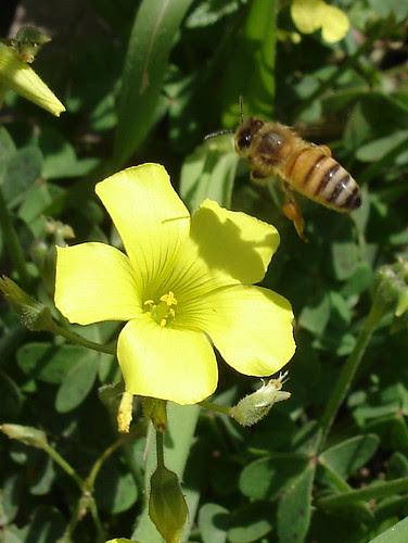 Bee over sorrel