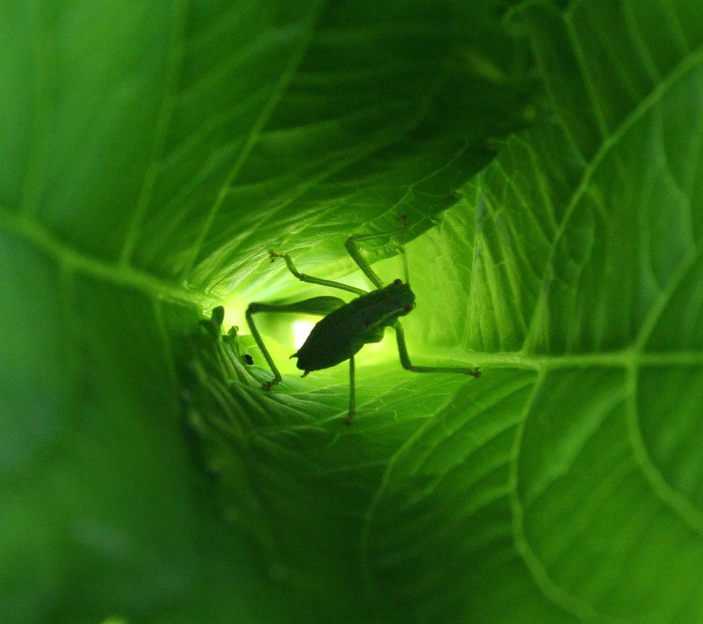 Græshoppe i hortensia