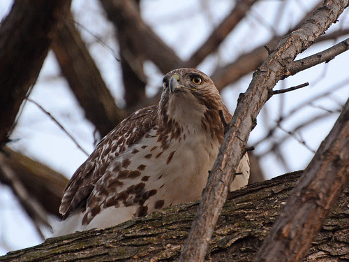 Juvenile Red-Tailed Hawk (6223)