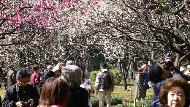 小石川後楽園梅園