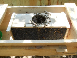 Bees 2012 Box Placed in Top Bar Bee Hive