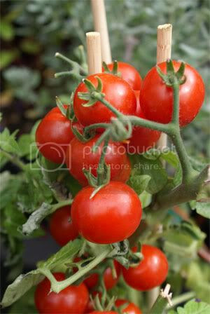 Tomato Destroy Free Radicals