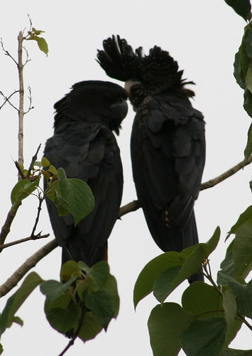 Pair of Red-tailed Black Cockatoos