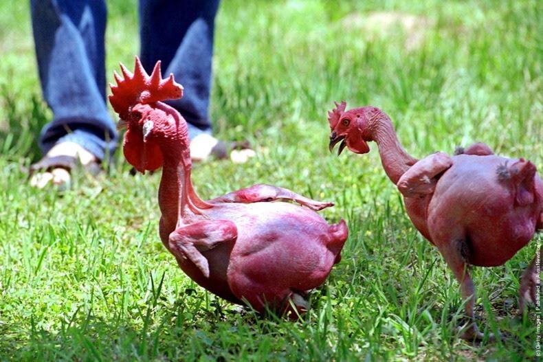 52 Gambar Ayam Lucu Dan Unik Terlihat Keren