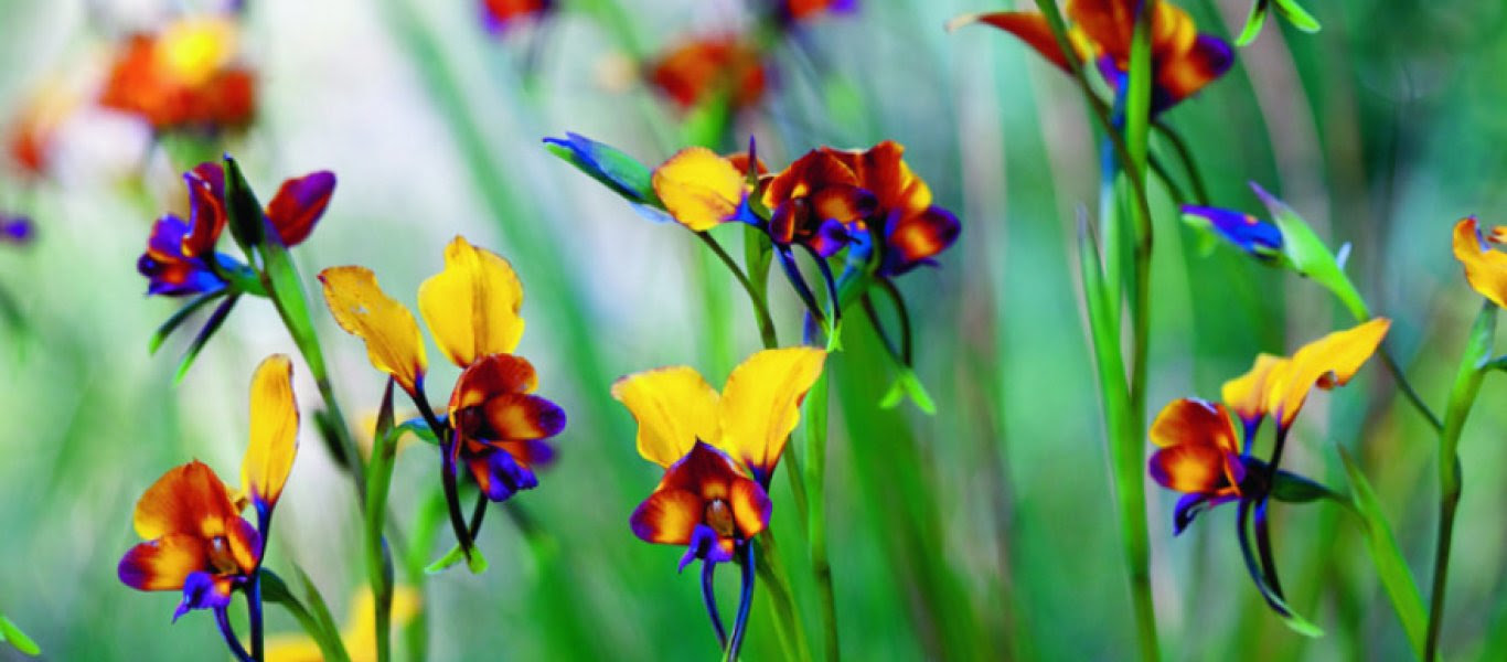 wild_orchid