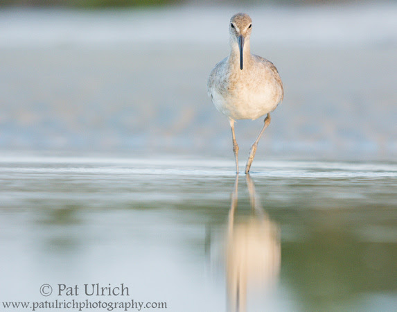 Willet with reflection in still water