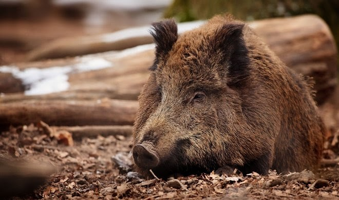 Чешские ученые впервые зафиксировали сложное спасательное поведение у диких свиней