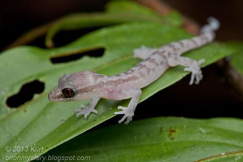 Cute lilttle Gecko IMG_2282 copy