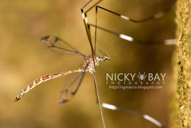 Crane Fly (Tipulidae) - DSC_7667