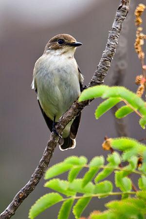 A female European Pied Flycatcher in Gran Cana...
