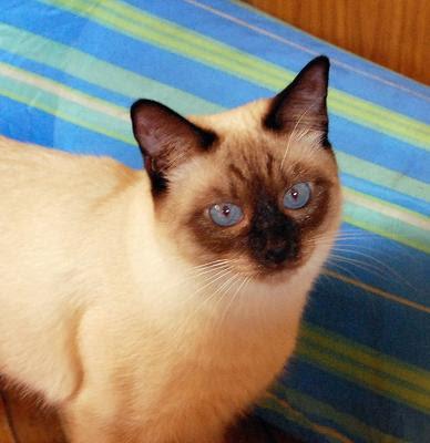 WCF Thai cat or apple head Siamese cat