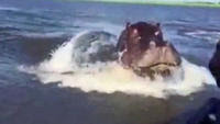 Huge hippo nearly gets boat in Africa
