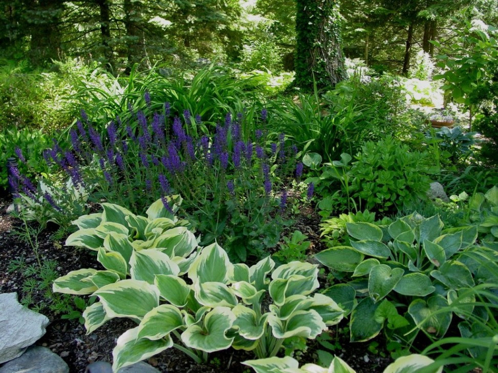 jardin ombre humide hosta liberty salvia may night