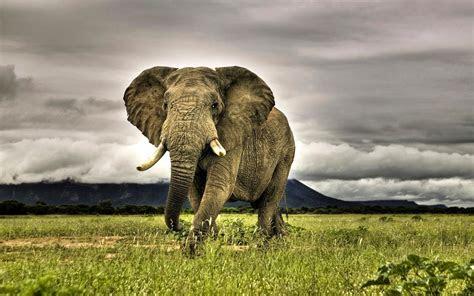 hd wallpaper   elephant wallpapers