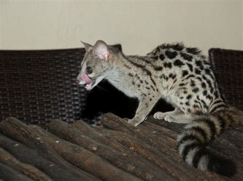 Genets: The Honorary Cats   The Animal Rescue Site Blog