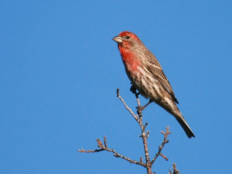 In the backyard... House Finch - Pacific NW Birder