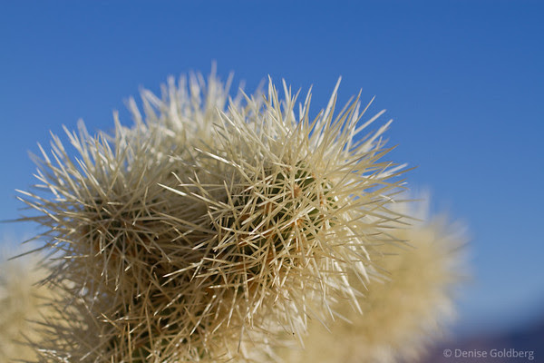 teddy bear cholla, Joshua Tree National Park