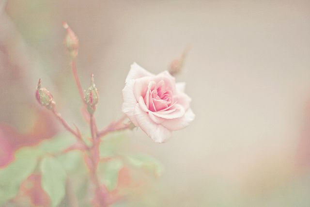 My favorite pink rose, thrives in the Texas Hill Country--'Belinda's Dream'.