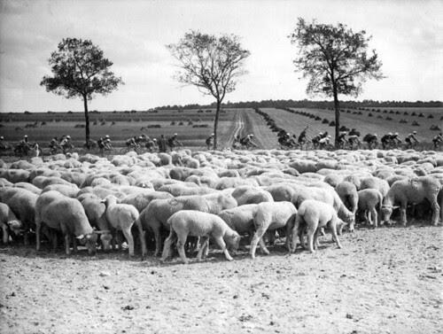 Peloton  passeert kudde schapen  / Cyclists passing a herd of sheep