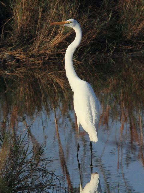 Great Egret 20121213