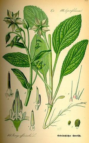Lámina ilustrada de la planta de la borraja o borago officinalis