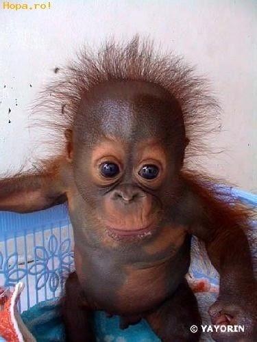 Orangutan Baby Smiling Meme