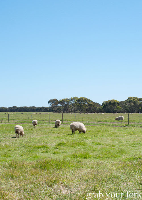 Sheep grazing in the field at Island Pure Sheep Dairy and Cheese Factory