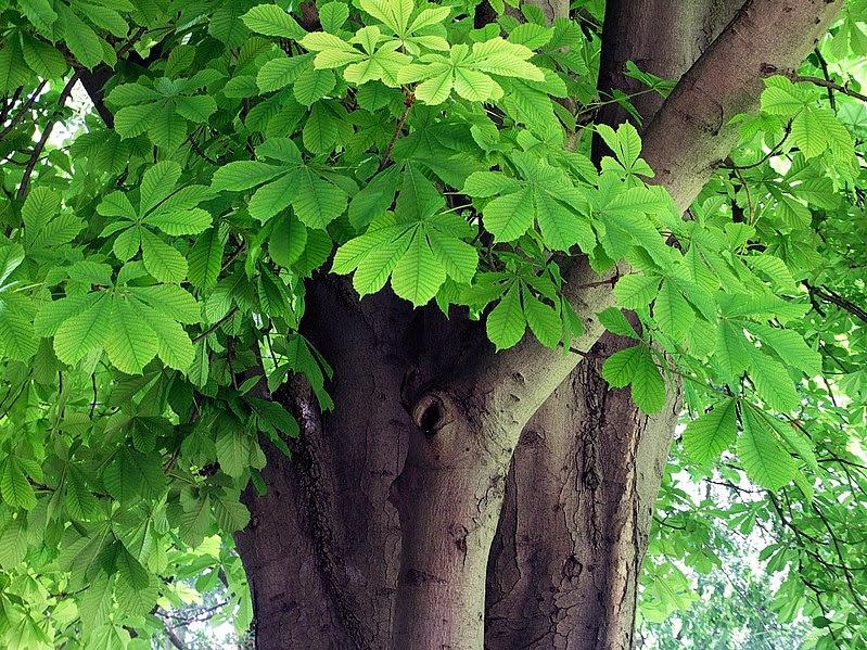 File:Aesculus hippocastanum-1.jpg