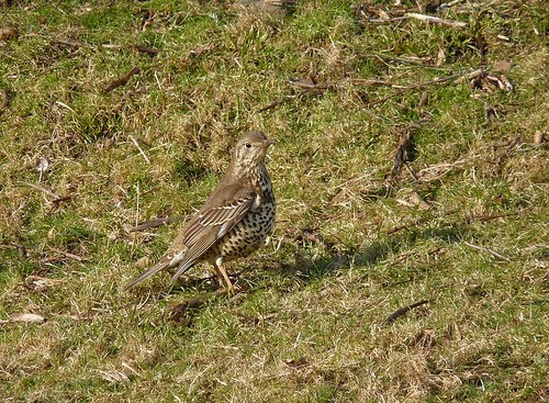 11892 - Mistle Thrush at Mewslade, Gower