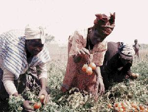 African women in many countries supply 80% of the agricultural output. The emancipation of women is essential to the development of the continent. by Pan-African News Wire File Photos