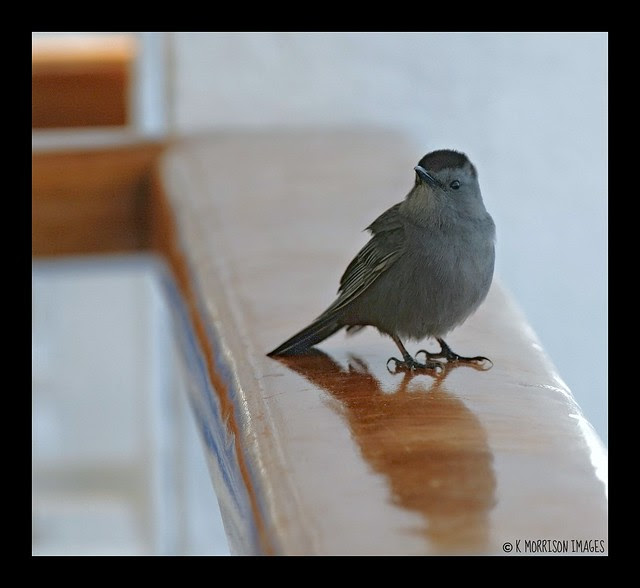 LOST AT SEA - Grey Catbird