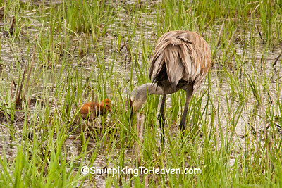 Sandhill Crane with Chick, Dane County, Wisconsin