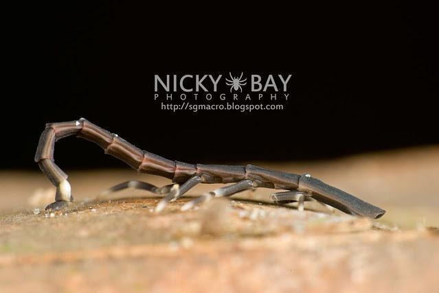 Firefly larva (Lampyridae) - DSC_6655
