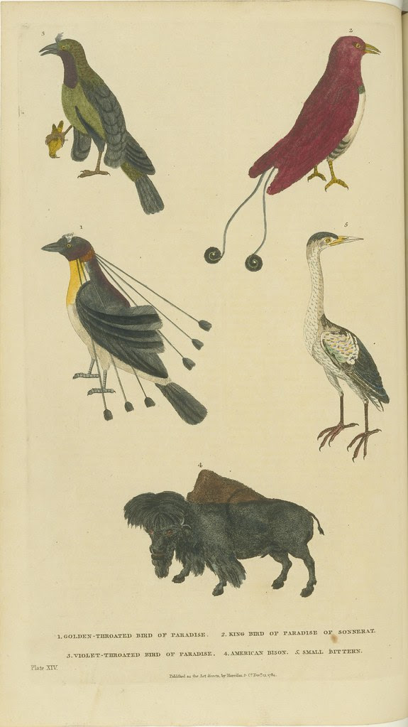 Various birds and a bison - hand-coloured 18th c. book illustration