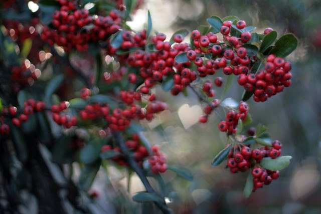 red berries with heart bokeh