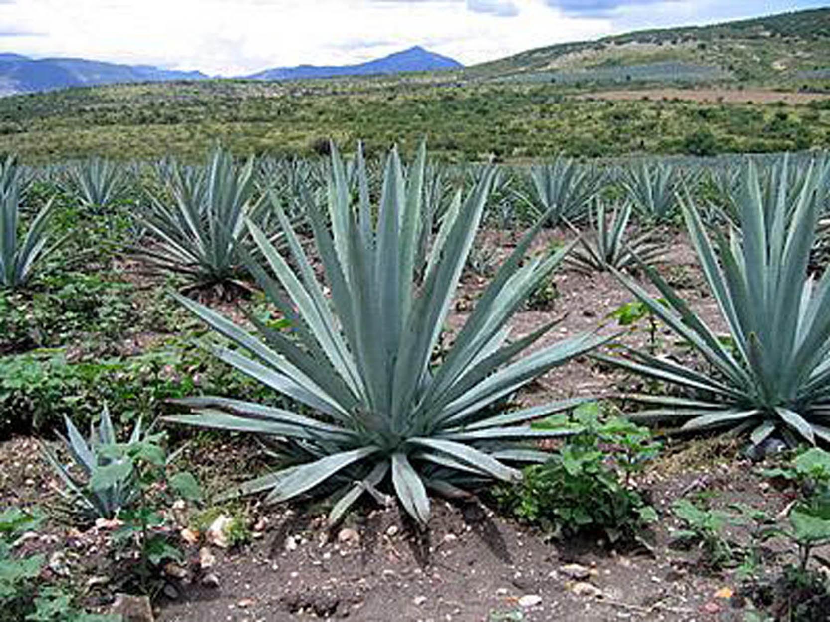 Resultado de imagen para agaves en mexico para tequila
