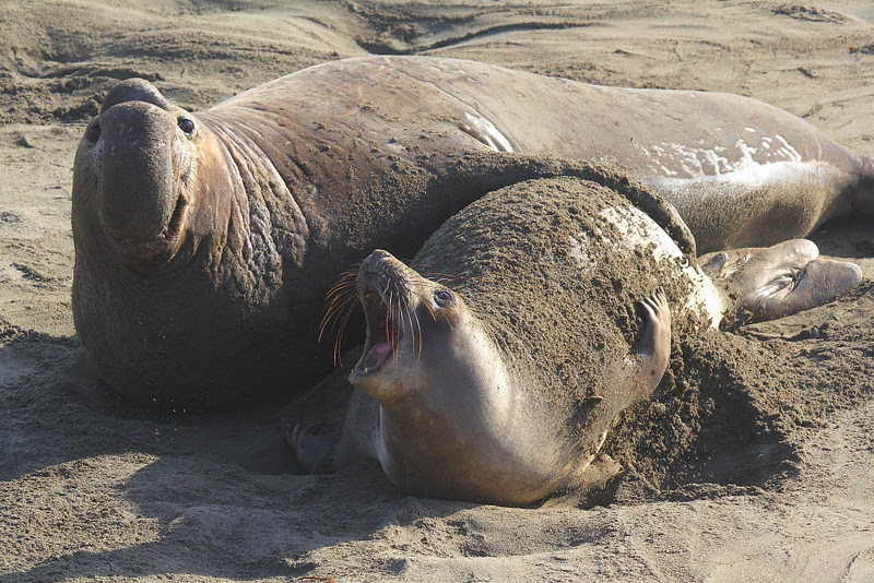 IMG_6317 Elephant Seal