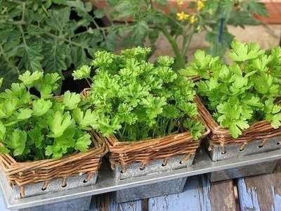 Mudas de salsinha cultivadas em vasinhos