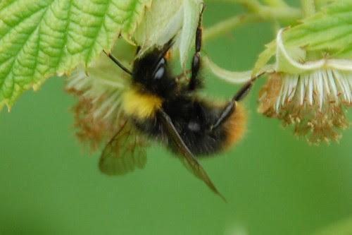unnamed bumblebee #4