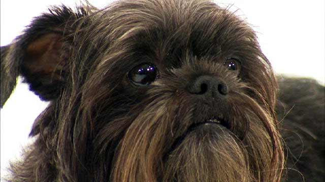 Affenpinscher Dog Breed » Information, Pictures,  More