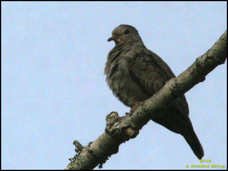 Common-ground Dove