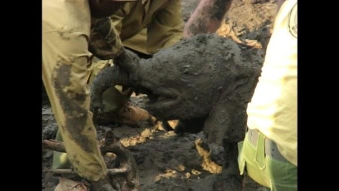 Rescatan a 6 angustiados elefantes bebés atorados en el lodo, sólo querían encontrar a sus papás