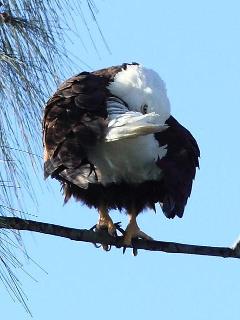 Bald Eagle preening 2-20121207