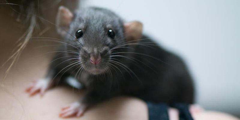 هل ستتعاطف مع الفئران بعد قراءتك لهذه الحقائق
