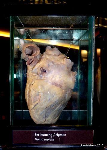 Corazón - Ser Humano