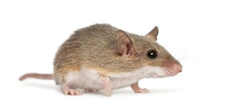 Home Remedies To Get Rid of Mice   Grandma's Tips!